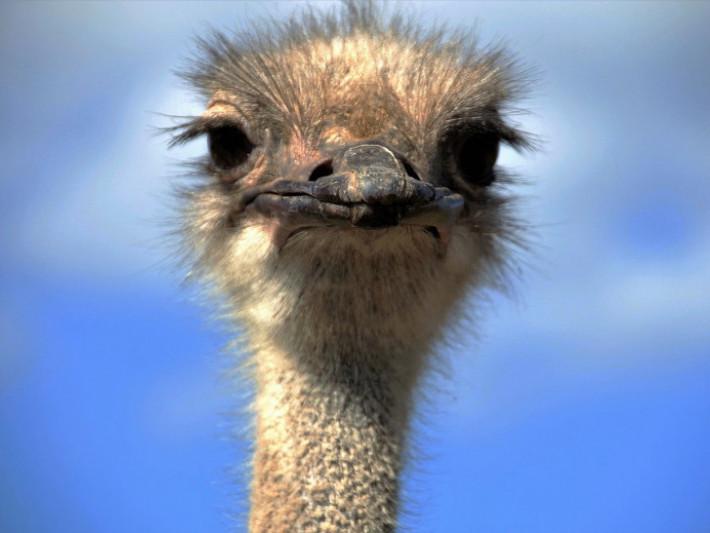 У священика зі Скулина живуть екзотичні страуси / Фото ілюстративне