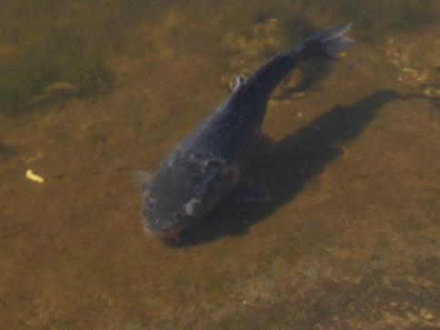 Спеціалісти назвали причини масової загибелі риби у ковельському водосховищі