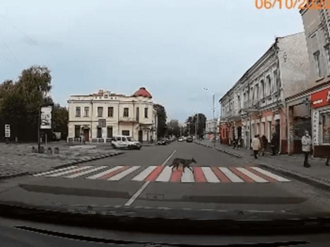 Собака переходить дорогу