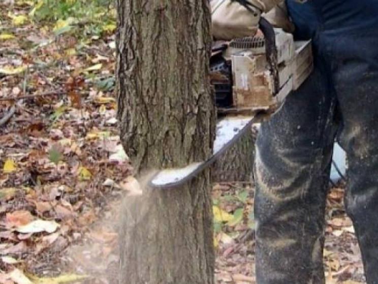 Спилюють дерево