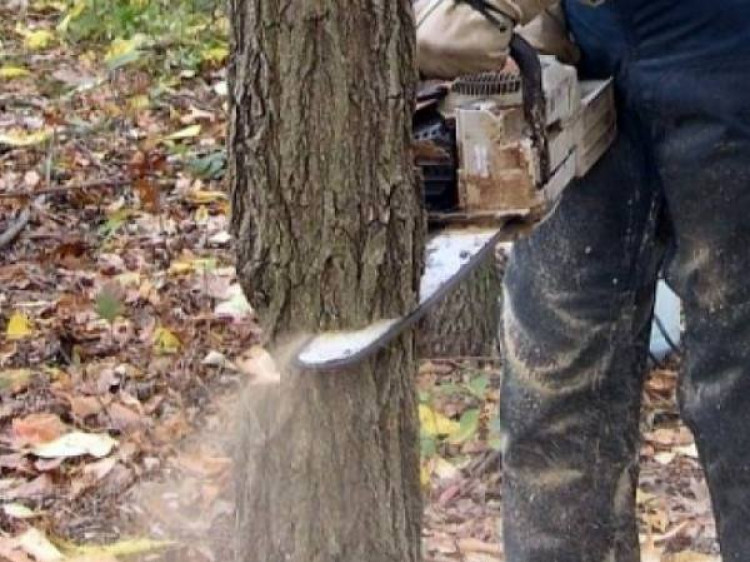 Зрізують дерева