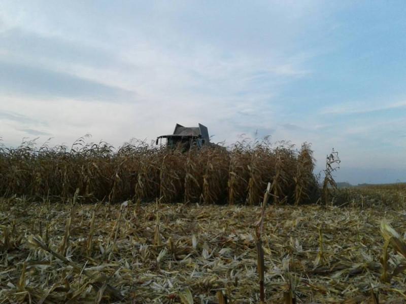 Як на Ковельщині збирають врожай кукурудзи