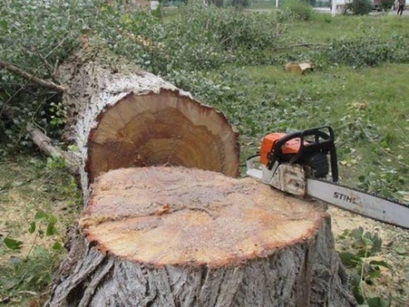 У Ковелі зріжуть дерева на території поліклініки обласної ради