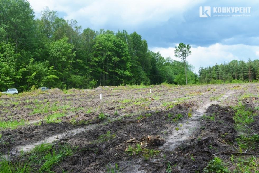 Це грабова ділянка. Тут було здійснено прямолінійне пониження пнів перед підготовкою ґрунту під майбутні лісові культури