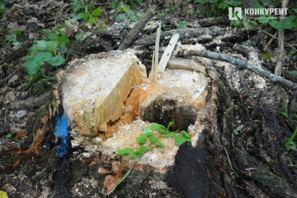 Спиляне дерево, яке «віджило» своє, давши дорогу молодому лісовому поколінню